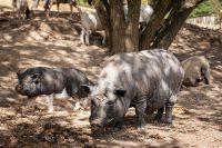 Home of Nature Hängebauchschweine