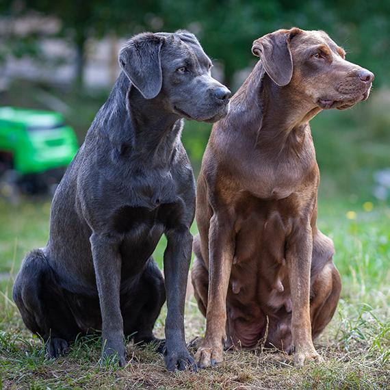 Vizslador Labrador Mischling Zucht